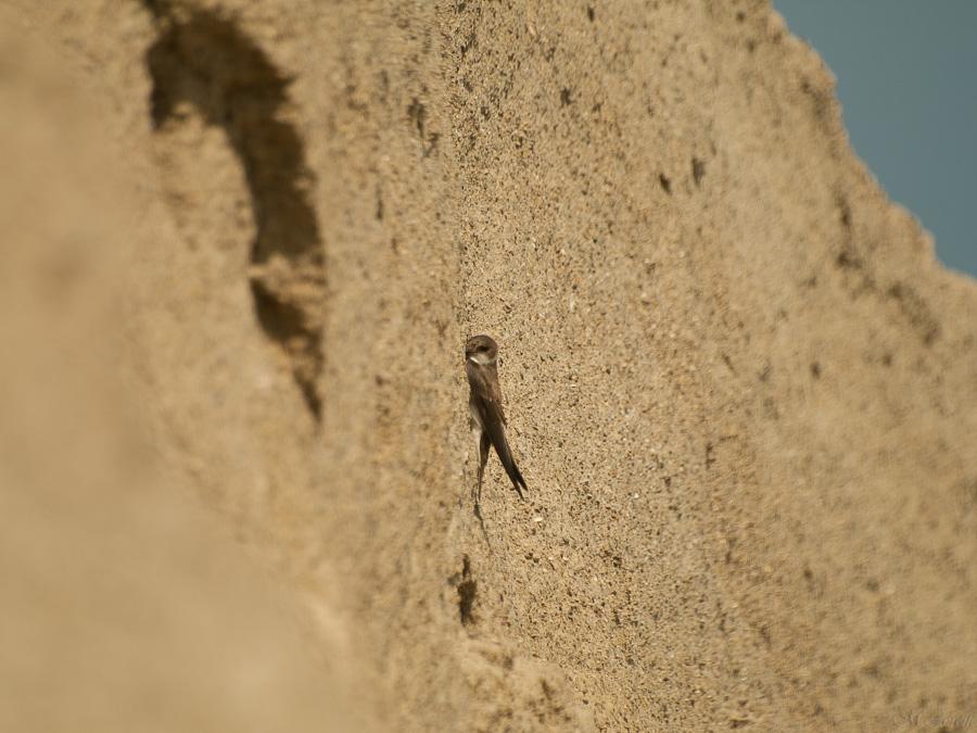 Jaskółka brzegówka